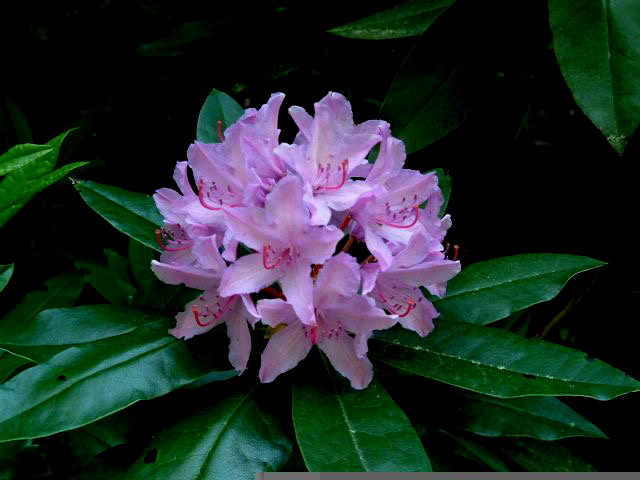pacific-rhododedron-flower