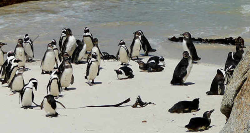 Penguins-Boulder-Bay-South-africa