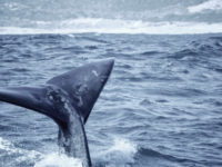 Whales-tail-south-africa