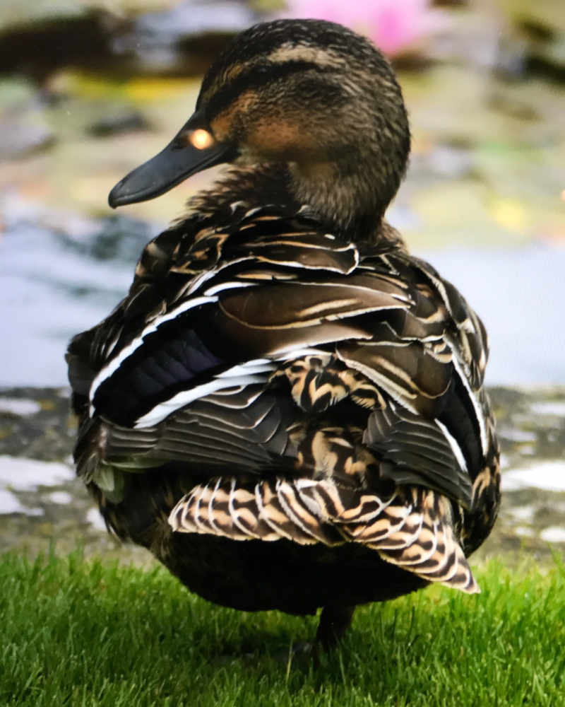 young-Duck