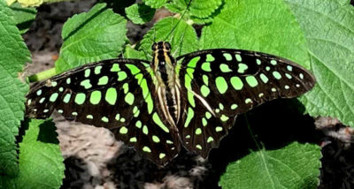 Graphium-agamemnon-butterfly