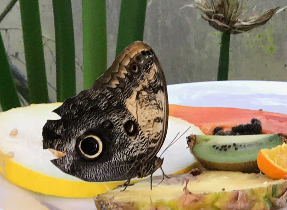 caligo-telamonius-butterfly